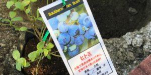 ブルーベリー品種|ヒトミ|サザンハイブッシュ系