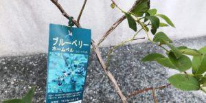 ブルーベリー品種|ホームベル|サザンハイブッシュ系