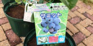 ブルーベリー品種|サミット|サザンハイブッシュ系