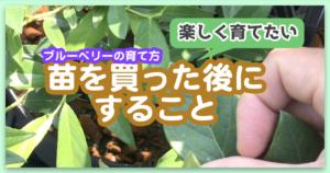 ブルーベリーの品種がわからなくならないようにする方法【大切な園芸ラベル】