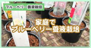 【体験談あり】家庭でブルーベリー養液栽培【かんたんキットの紹介】